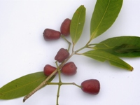 syzygium tierneyanum leaves and fruits