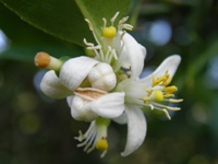 citrus latifolia flower