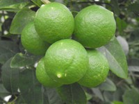 citrus latifolia fruit