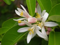 citrus limon flowers