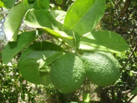 citrus limon fruit
