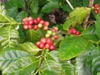 coffea arabica berries