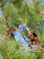 pinus radiata female cones
