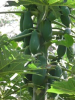 carica papaya fruits on stalks
