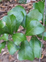 Cupaniopsis wadsworthii leaves