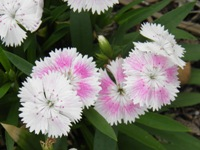 dianthus barbatus flower detail