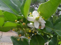 citrus hystrix flowers