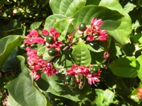 clerodendrum splendens fruits