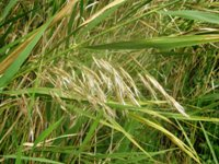 phragmites karka after flowering