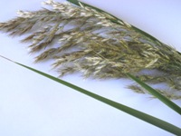 phragmites karka flower head