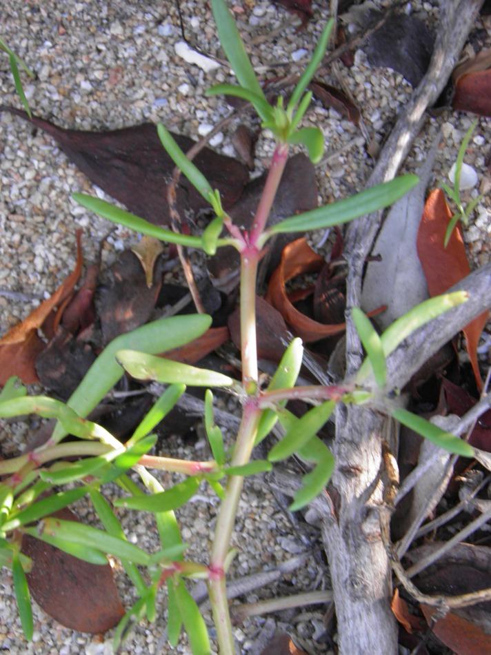 Aixoaceae