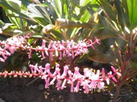 cordyline fruticosa flowering