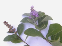 vitex rotundifolia