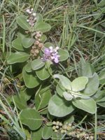 vitex rotundifolia fruits